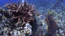 Tracking Shot Of Hawksbill Turtle Positioning Around Soft Coral To Feed