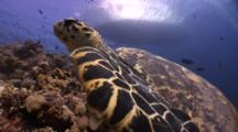 Wide Angle Tracking Shot Of Hawksbill Turtle Swimming Along Beautiful Coral Reef. Dive Boat Is Visible On Surface Through Clear Water.