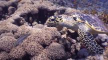 Wide Angle Tracking Shot Of Hawksbill Turtle Hunting On Beautiful Coral Reef