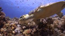 Wide Angle Tracking Exit Shot Of Hawksbill Turtle On Beautiful Coral Reef