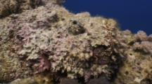 'dolly Zoom' Close Up Of Stonefish Sitting Atop Coral Head