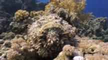 Stonefish Sitting Atop Coral Head