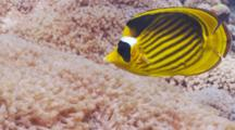 Red Sea Raccoon Butterflyfish Feeding Amongst Xeniidae Soft Coral