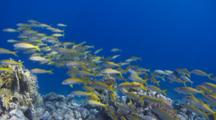 Wide Angle Tracking Shot Of Red Sea Goatfish Over Coral Reef