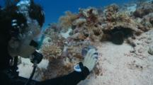 Wide Angle Of Giant Moray Eel Resting In Coral Heads, Scuba Diver Taking Photograph