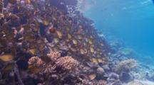 'dolly Zoom' Of Schooling Vanikoro Sweepers Along Coral Reef Wall
