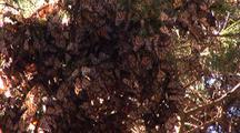 Monarch Butterflies In A Dense Cluster