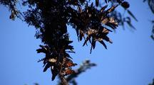 Monarch Butterflies On Three Vertical Branches Swaying