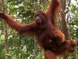 Orangutan Mother With Baby Swinging In The Trees