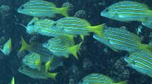 Small School Of Blue And Gold Snapper