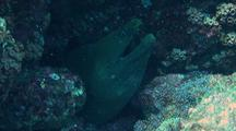 Panamic Green Moray Eel Opening And Closing Mouth