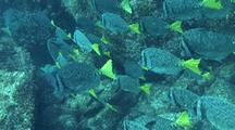 Yellowtail Surgeonfish Swimming Away