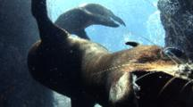 Sea Lion Pup Tries To Bite Camera Lens