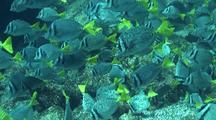 Yellowtail Surgeonfish Feeding Frenzy