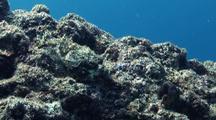 Raggy Scorpionfish At Rest