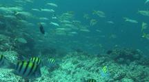Schooling Fish Around Suwanee Reef