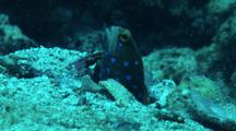 Bluespotted Jawfish Looking Around