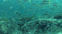 Spottail Grunt Schooling Around Rocky Reef