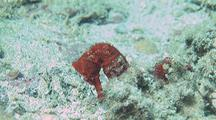 Pacific Seahorse On Sandy Bottom