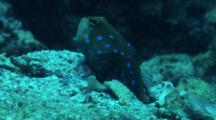 Bluespotted Jawfish Bringing Up Sand From Burrow And Then Looking Around