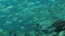 School Of Fish Around Rocky Reef
