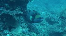 Titan Triggerfish Resting Behind A Rock