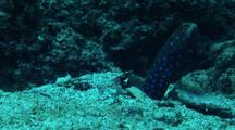Bluespotted Jawfish Comes Up Out Of Hiding, Looks Around, Then Goes Back Home