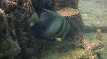 Cortez Angel Fish Feeding On Ship Wreck