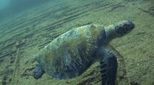 Green Sea Turtle On Deck Of Shipwreck