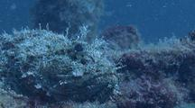 Closeup Of Stone Scorpionfish On Wreck