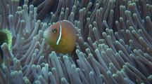 Pink Anemonefish Swimming Around Anemone