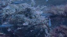 Stone Scorpionfish On Wreck Feeding On A Fingerling