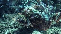 Mauritius Scorpionfish Resting On Reef