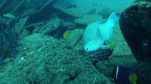 Bluechin Parrotfish Feeding On Ship Wreck