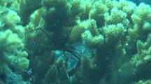 Arrow Crab In Coral