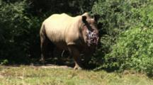 Pov Approaching Rhino, Poached Alive, Horns Removed