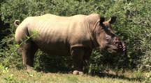 Severely Injured Rhino, Poached Alive, Horns Removed