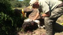 Game Warden Covers Eyes Of Rhino, Poached Alive, Horns Removed