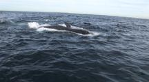 Brydes Whale Feeds In Baitball, Along With Fur Seals, Dolphins, Gannets