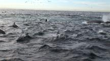 Ocean Filled With Dolphins And Plunge Diving Gannets On Surface During Sardine Run