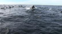 Brydes Whale Feeds On Sardine Bait Ball, With Dolphins, Gannets And Cape Fur Seals