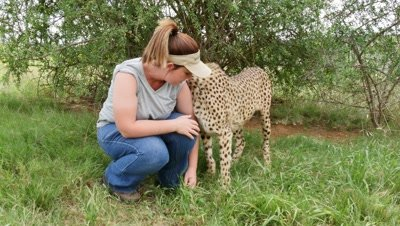 Captive Cheetah interacts with people