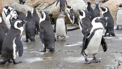 African Penguin Colony on Rocky Coast