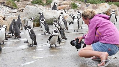 Tourist Photographs African Penguin Colony on Rocky Coast