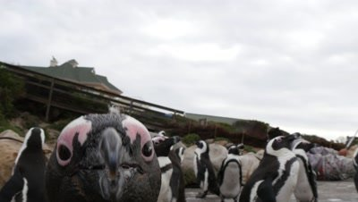 African Penguin Colony on Rocky Coast,one attacks camera
