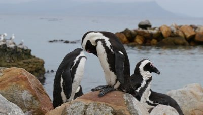 African Penguins Preen on Rocky Coast