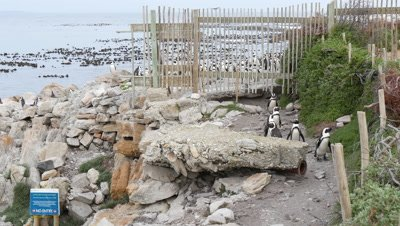 panoramic view of African Penguin Colony on Rocky Coast