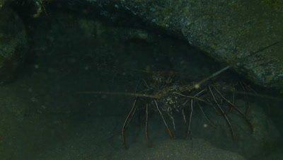 St Helena Island ,Dive trip,Lobster