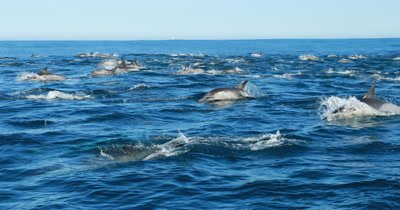 Common Dolphins swim next to Vessel