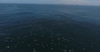 Drone Common Dolphins and Gannets forming Baitballs